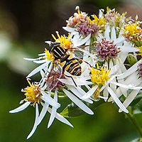 Narrow-headed Marsh Fly (Helophilus fasciatus) on American Asters along the Bridle Path at West 72nd st. in Central Park
