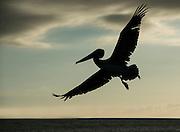 Brown Pelican (Pelecanus occidentalis urinator) Silhouette<br /> North Seymour<br /> Galapagos<br /> Ecuador,  South America