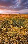 Goldfields  at Sunset, Carrizo Plain National Monument, California
