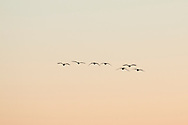 Mamakating, New York - Canada geese fly above the Bashakill Wildlife Management Area on March 24, 2015.