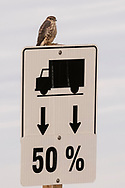 Photo Randy Vanderveen<br /> Grande Prairie, Alberta<br /> 2018-09-20<br /> Despite appearances, a hawk didn't get smaller in order to comply with county road bans. A merlin takes advantage of the traffic sign as a perch. The small raptors are year-round residents of the province and will kill song birds in mid-air for food.
