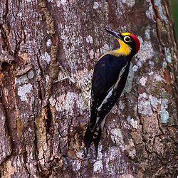 Benedito-de-testa-amarela macho (Melanerpes flavifrons) em tronco de árvore, fotografado em Sooretama, Espírito Santo, Brasil. ENGLISH: Male of yellow-fronted Woodpecker (Melanerpes flavifrons) on tree trunk, photographed in Sooretama, Espírito Santo, Brazil.