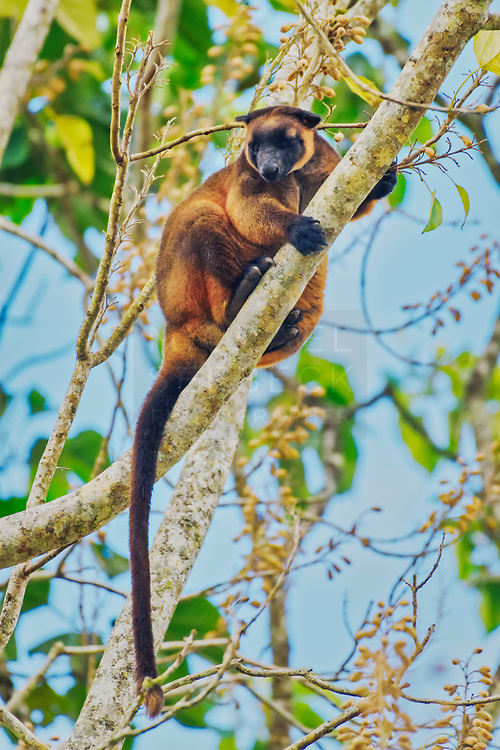 A male Lumholtz Tree Kangaroo (Dendrolagus lumholtzi) perched high up on a tree on the Atherton Tablelands.<br /> <br /> Code: PAQT0256