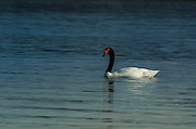 Black-necked swan (Cygnus melancoryphus) <br /> Torres del Paine National Park<br /> Patagonia<br /> Magellanic region of Southern Chile<br /> Native to South America