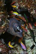 masked moray, Gymnothorax breedeni, & peach anthias, Pseudanthias dispar, Christmas Island ( Kiritimati ), Republic of Kiribati, northern Line Islands, equatorial Central Pacific Ocean
