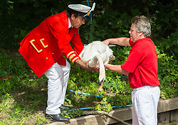 © Licensed to London News Pictures. 17/07/2017. London, UK. David Barber, The Queen's Swan Marker holds a swan on the riverbank. Swan Upping takes place on the River Thames near Windsor, Berkshire, UK. The annual event dates from medieval times, when The Crown claimed ownership of all mute swans which were considered an important food source for banquets and feasts. Today, the cygnets are weighed and measured to obtain estimates of growth rates and the birds are examined for any sign of injury, commonly caused by fishing hook and line. The cygnets are ringed with individual identification numbers by The Queen's Swan Warden, whose role is scientific and non-ceremonial. Photo credit: Ray Tang/LNP