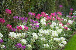 Cleome spinosa 'Colour Mix' grown along the hedge bottom by the drive. American Spider Flower