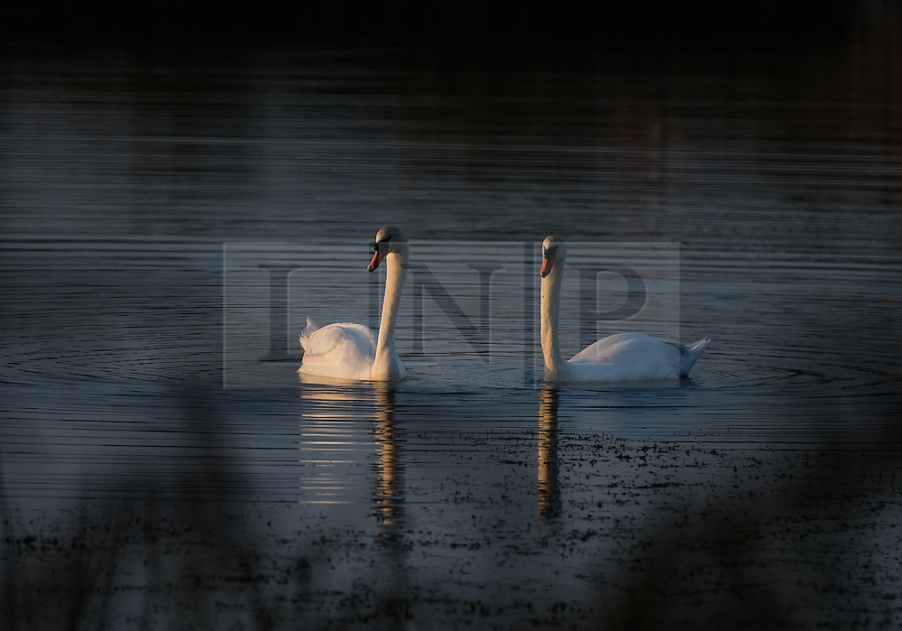 © Licensed to London News Pictures.02/11/15<br /> Redcar, UK. <br /> <br /> A pair of swans glide over one of the small lakes at Coatham Marshes in Redcar this evening.<br /> <br /> Photo credit : Ian Forsyth/LNP