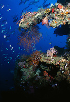 Sea Fans and coral living on the Toa Maru, once a   Japanese transport ship, off of Gizo, Solomon Islands.
