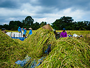 28 JULY 2017 - JATILUWIH, BALI, INDONESIA: Workers thresh freshly cut rice near Jatiluwih, in central Bali. Rice is the most important crop grown on Bali and is important as a food source and a symbol of Balinese culture.     PHOTO BY JACK KURTZ