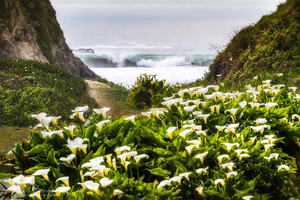 Calla Lillies at Doud Creek, Garrapata State Beach, Big Sur Coast, Highway 1 California
