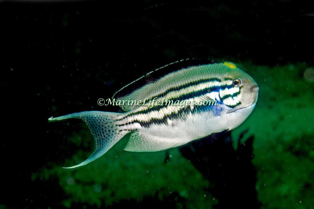 Blackstripe Angelfish inhabit reefs; picture taken Triton Bay, West Papaua, Indonesia.