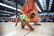 Border Terrier strutting the catwalk with his deer stalker hat and Brazil t-shirt. Paw Pageant dog show at Spitalfields Market, London. Local people enter their dogs into the Shoreditch Unbound Festival Dog Show to win prizes and to show off their pets. Prizes and categories included: Dead Ringer, Dressed Up to the K-Nines, Fugliest Dog (meaning funny / ugly), Shoreditch Show Off, Paw-fection, Best in Ditch, Best Bitch in the Ditch.