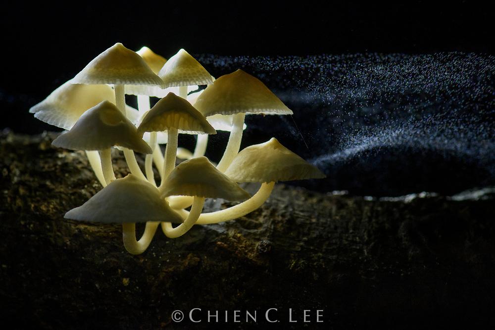 Luminous Porecap (Favolaschia manipularis), releasing spores. Sarawak, Malaysia (Borneo).