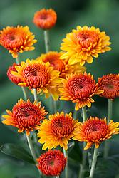Chrysanthemum 'Bella Orange'