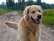 Golden Retriever Lemmy in einem Feld. Der Golden Retriever ist ein intelligenter, freudig arbeitender Hund, dem auch extreme, nasskalte Witterungsbedingungen nichts ausmachen. Dem steht allerdings eine relativ starke Empfindlichkeit hinsichtlich hoher Temperaturen gegenüber. Grundsätzlich ist die Rasse ruhig, geduldig, aufmerksam und niemals aggressiv.<br /> <br /> Golden Retriever Lemmy during a walk in a field.