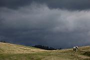 With stormy clouds gathering in the distance, a white horse walks downhill towards a traditional Polish shepherds' mountain hut, on 20th September 2019, Biala Woda, Jaworki, near Szczawnica, Malopolska, Poland.