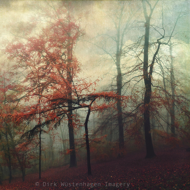 Tree with red foliage on a misty fall day