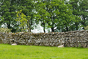 Sheep sheltering against dry stone wall in Yorkshire Dales at Smardale Gill, England
