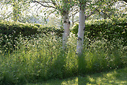 Betula utilis var jacquemontii - silver birch trees underplanted with Anthriscus sylvestris - cow parsley in the early morning light - Gowan Cottage in May.