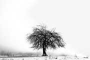 Old solitary apple tree