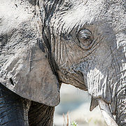 Profile of an elephant covered in dried mud at Tarangire National Park in northern Tanzania not far from Ngorongoro Crater and the Serengeti.