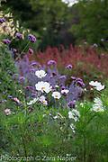 Verbena bonariensis,  Cosmos 'Purity' and Cosmos bipinnatus 'Psyche Rose Picotee' - also sold by Mr Fothergill as 'Sweet Kisses' - September