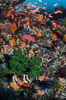 Reef Fishes abound among cup corals..Shot in Indonesia