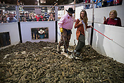 """""""Miss Texas"""" Margana Wood makes her way through a pit of live rattlesnakes with the help of Travis Gardner during the Sweetwater Rattlesnake Roundup at Nolan County Coliseum in Sweetwater, Texas, U.S., March 10, 2018."""