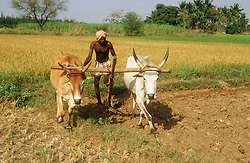 Man ploughing field with oxen ready for planting rice; adjacent fields already have rice growing,