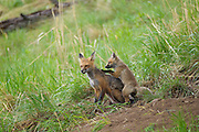 Red fox vixen with pup