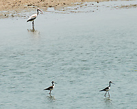 Black-necked Stilt (Himantopus mexicanus). Crooked Tree Wildlife Sanctuary. Image taken with a NikonD3x camera and 70-300 mm VR lens