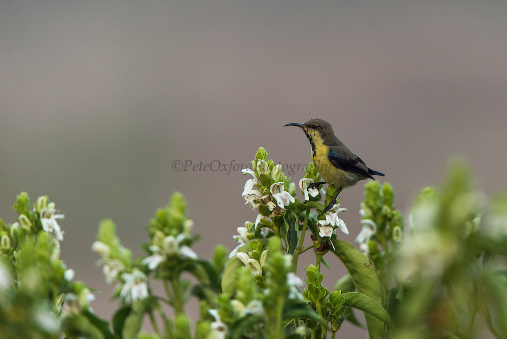 Purple sunbird (Cinnyris asiaticus)<br /> Bharatpur National Park <br /> Rajasthan, India<br /> Range: India and Asia