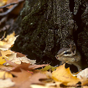 Chipmunk, (Tamias striatus) poking head out from base of tree and fallen leaves on forest floor.Fall.