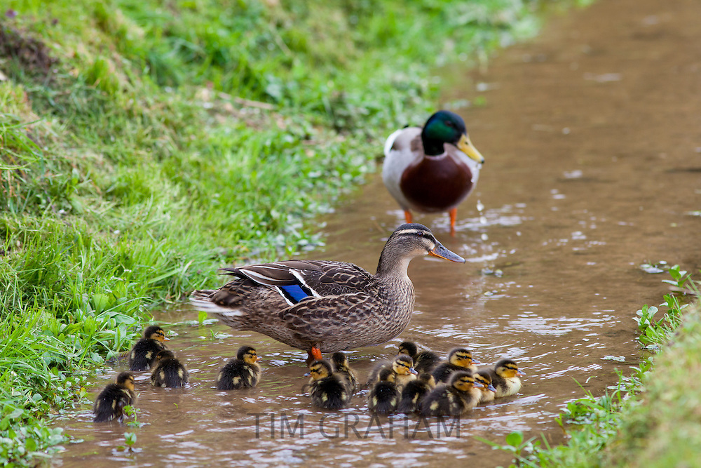 Male and female mallard ducks family group with 14 newly hatched ducklings, Anas platyrhynchos, on a stream in springtime, Swinbrook, the Cotswolds, UK
