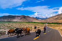 Herding cattle, Chatang, Shannan Prefecture, Tibet (Xizang), China.