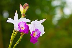 wild orchid flowers and working ants, tropical rainforest jungle, Hilo, Big Island, Hawaii, USA