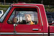 A dog sits in the driver's seat of a parked pickup truck in Leavenworth, Washington.