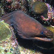 Viper Moray inhabit wide range of reefs; hide during day in recesses, often extend head from openings in Tropical West Atlantic; picture taken St Lucia.