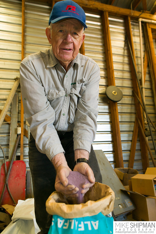 Jerry Tlucek  lets Roundup Ready ® Alfalfa (Medicago sativa) seed slip thorugh his fingers. He's unable to plant this seed this year due to the moratorium. MR