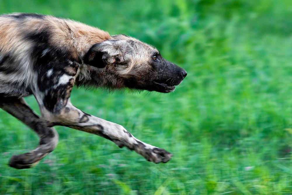 African wild dog, Zimbabwe, Africa.