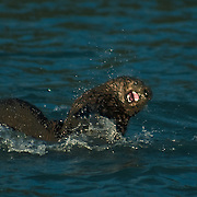 Sea otters playing in the cold waters of Aialik Bay, Kenai Fjords National Park, Alaska.