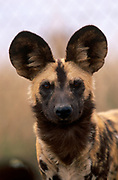 African wild dog {Lycaon pictus} portrait, South Africa
