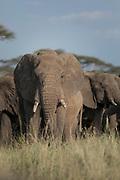 Nature photograph of an African elephant (Loxodonta africana) looking at camera among herd, Serengeti National Park, Tanzania