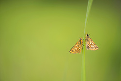 Chequered skipper butterfly Carterocephalus palaemon, adult pair resting on grass stem, part of the Back from the Brink project to reintroduce this species to England, Northamptonshire, May