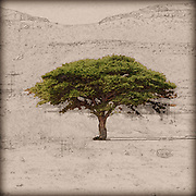 Digitally enhanced image of an Umbrella Thorn Acacia (Acacia tortilis). A medium to large canoped tree native to arid areas in the savannahs of Africa and the Middle East. Photographed in Israel, northern plains Negev desert in November