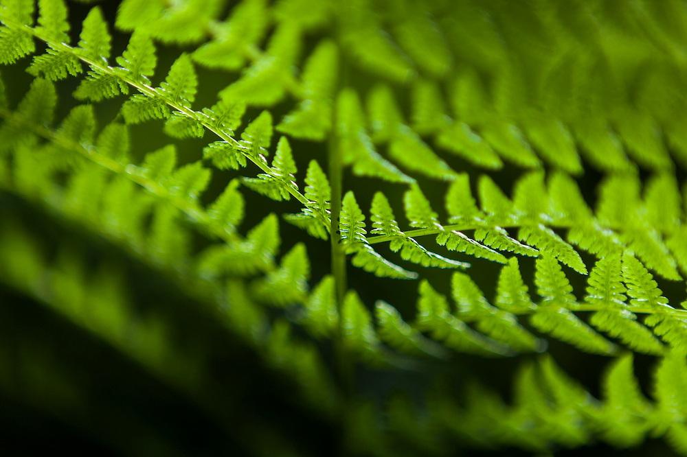 Detail of backlit fern frond on the Hidden Lake Trail, Mount Baker-Snoqualmie National Forest, Washington.
