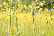 Common spotted orchid (Dactylorhiza fuchsi). Surrey, UK.