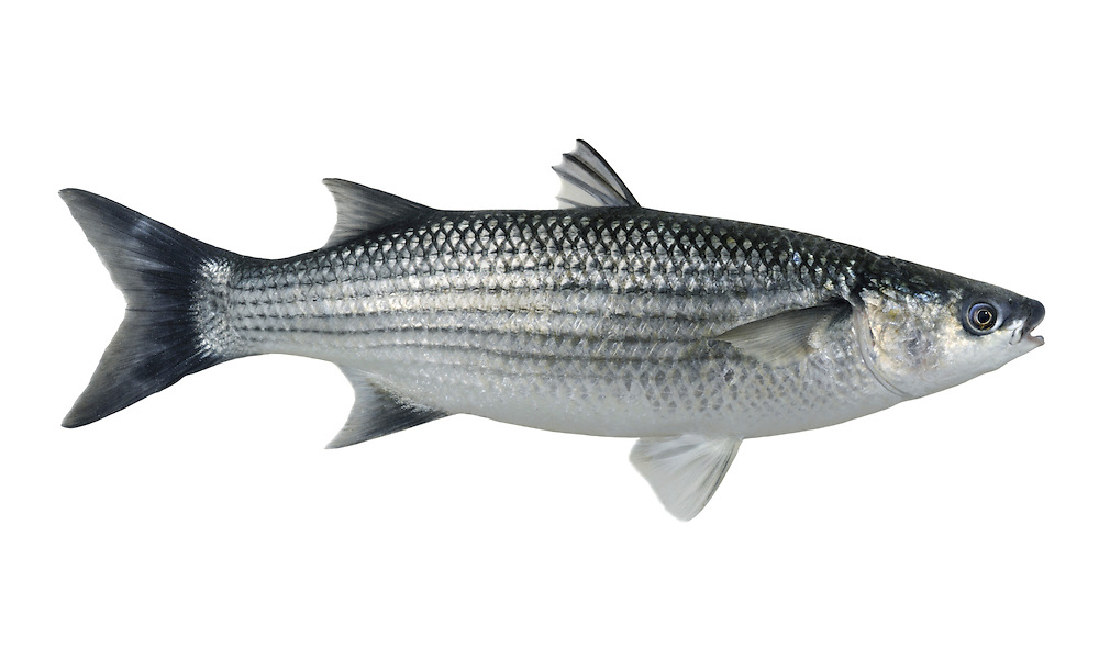 Thick-lipped Grey Mullet Chelon labrosus Length to 60cm<br /> The commonest of our grey mullet species. Ventures into estuaries and bays in summer months. Adult is cigar-shaped overall with a thick tail stock and narrowly tapering head. At its broadest, upper lip width equals or exceeds eye diameter. Overall colour is silvery-grey, darker above than below. Widespread and locally common in S Britain; scarce or absent elsewhere.