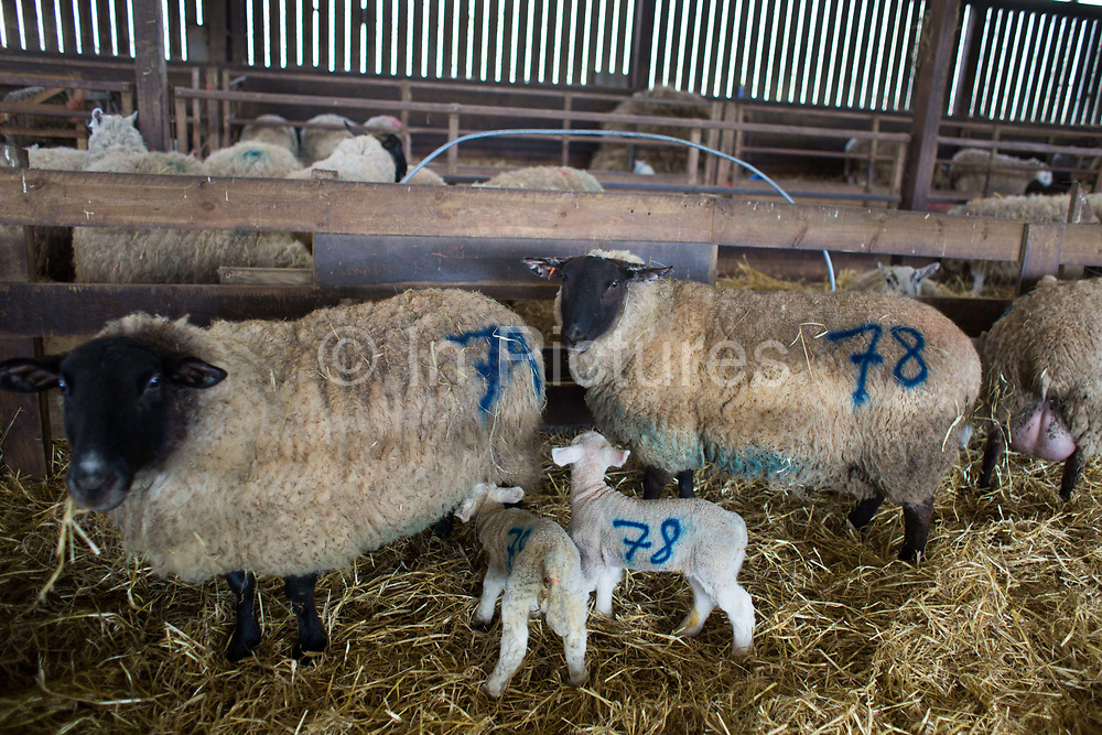 Spring is the lambing season in Scotland and Torsonce Mains Farm is busy lambing. Ewes and their new born lambs in the barn before they are put out onto the field.  The farm is owned by Stewart Ranciman and has 600 ewes all lambing from end of March till the end of April. Most will give birth to 2 lambs, occasionally 3 or even 4. The price of a 40 kg lamb is £60-70 and most are ready for sale 6-8 weeks later. Over 12 million lambs are slaughtered in the UK every year, producing more than 230,000 tonnes <br /> of meat.